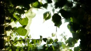 A photo of dark leaves covering glass window